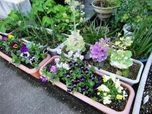 ビオラ&パンジー&菜の花など