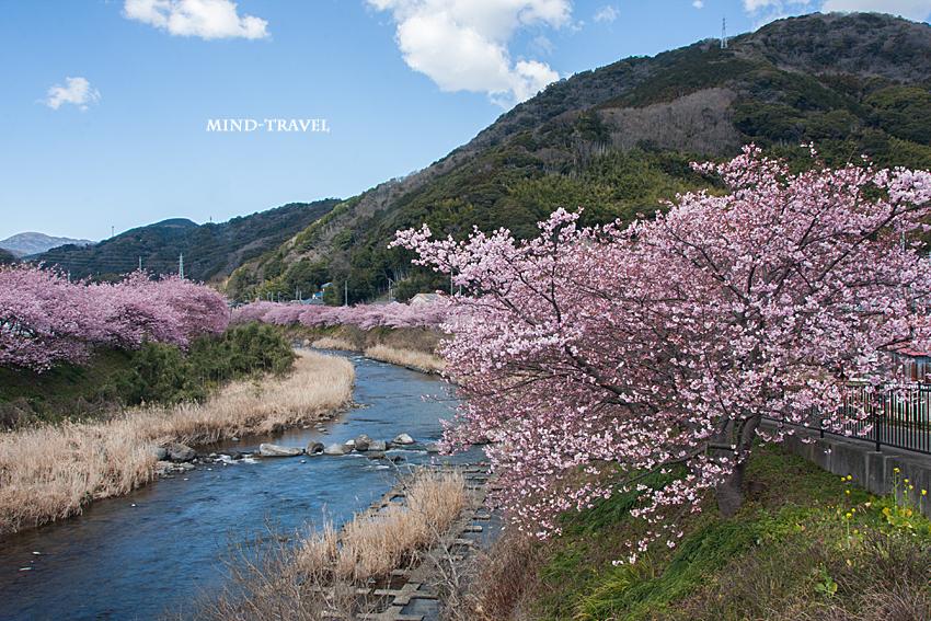 河津 河津桜