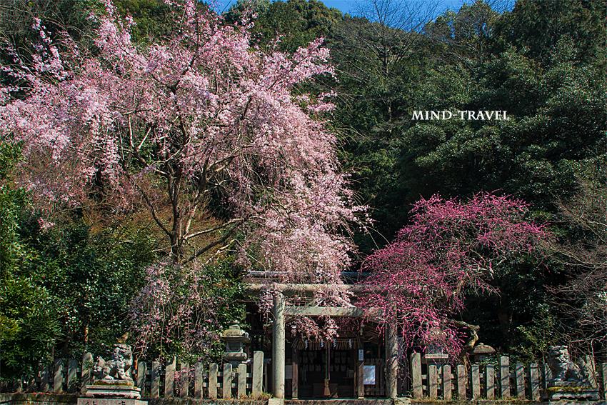大豊神社 しだれ桜としだれ梅