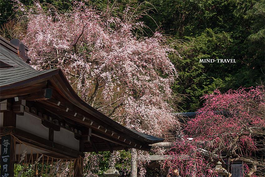 大豊神社 しだれ桜としだれ梅3