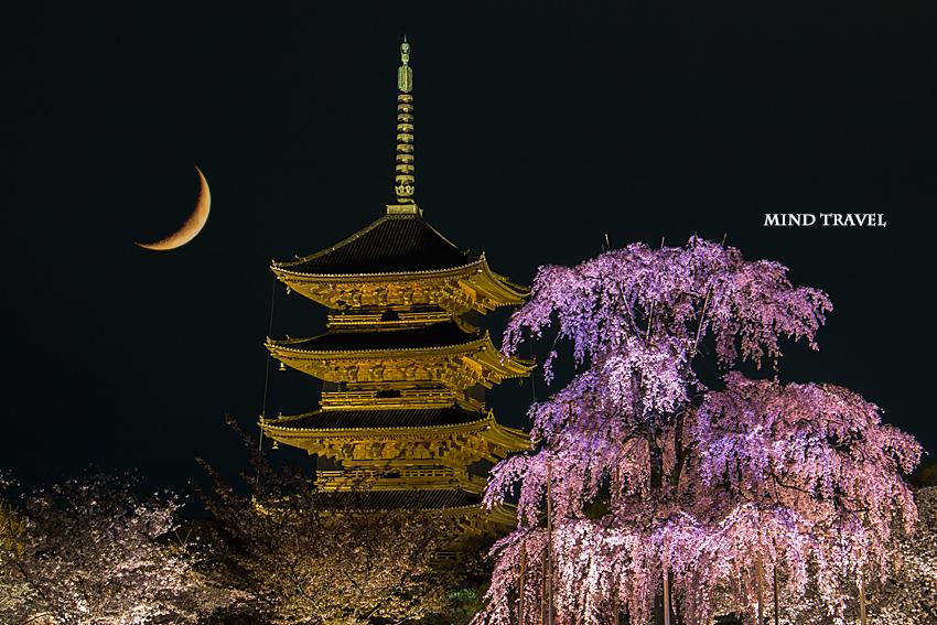 東寺 しだれ桜 ライトアップ2