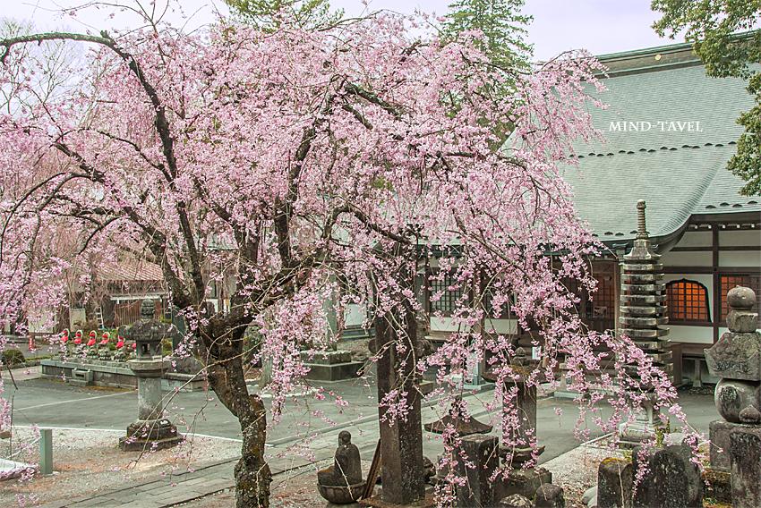 法蔵寺 しだれ桜2