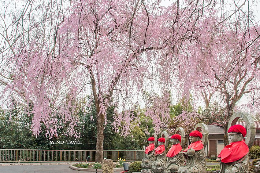法蔵寺 地蔵 しだれ桜