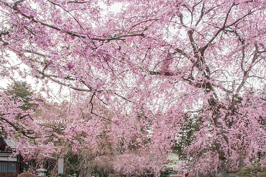 法蔵寺 しだれ桜