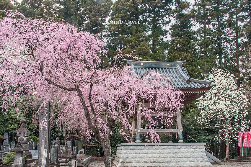 法蔵寺 鐘楼 しだれ桜