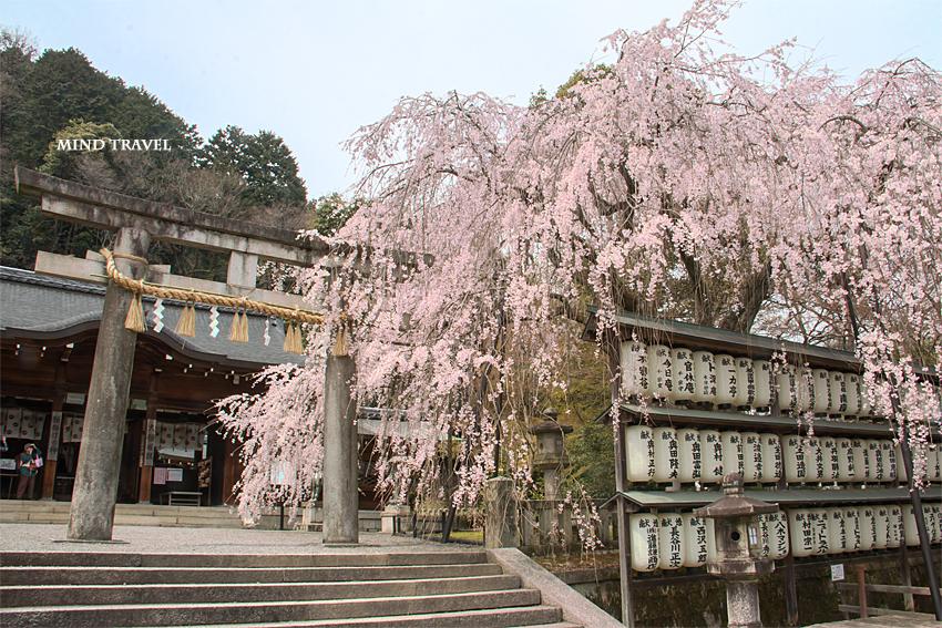 大石神社 しだれ桜2