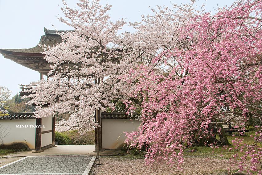 長岳寺 楼門 桜