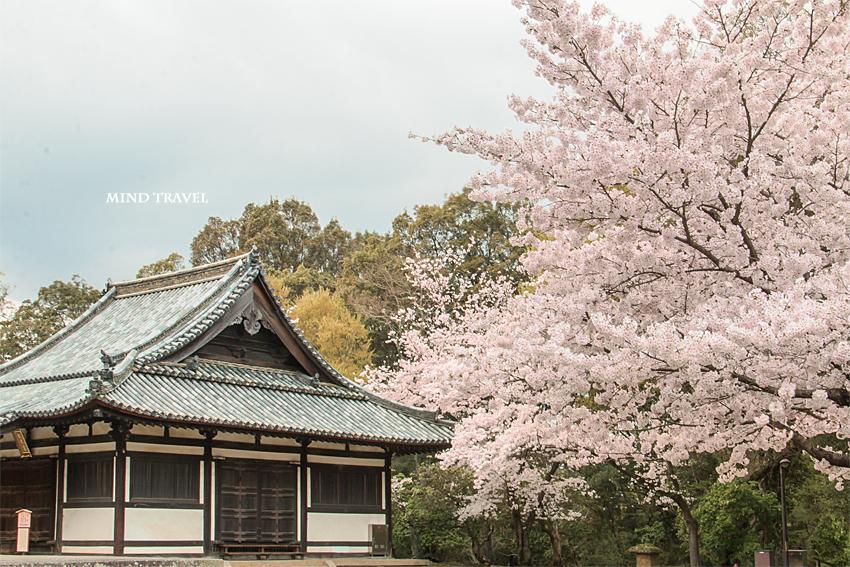 東大寺 俊乗堂 桜