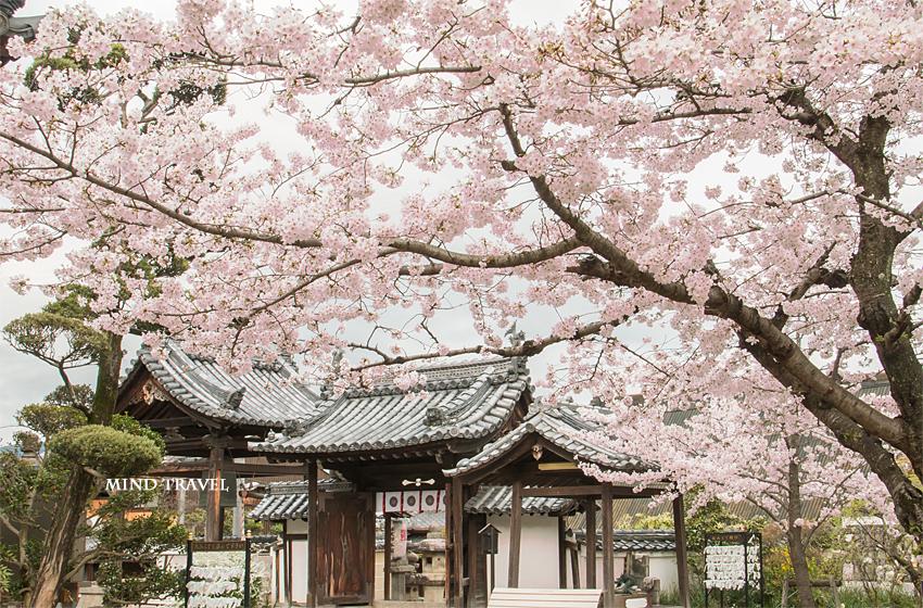 帯解寺 門 桜