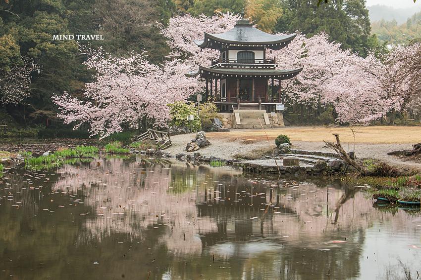 勧修寺 観音堂 桜2