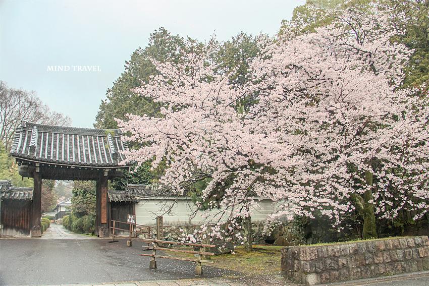 髄心院 総門 桜