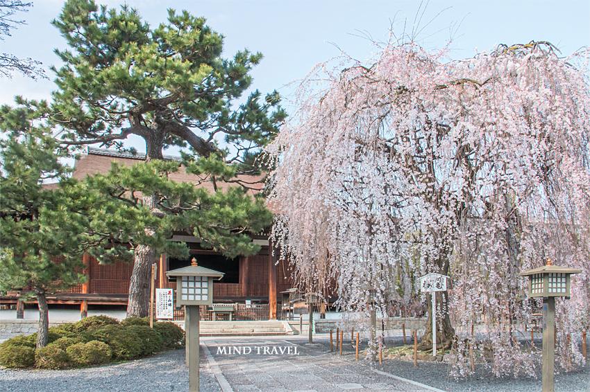 千本釈迦堂 おかめ桜