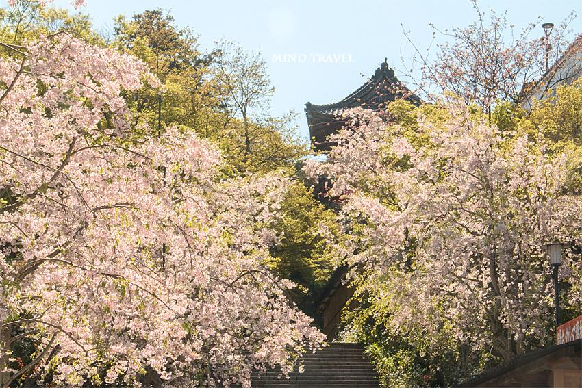 勝尾寺 鐘楼 桜