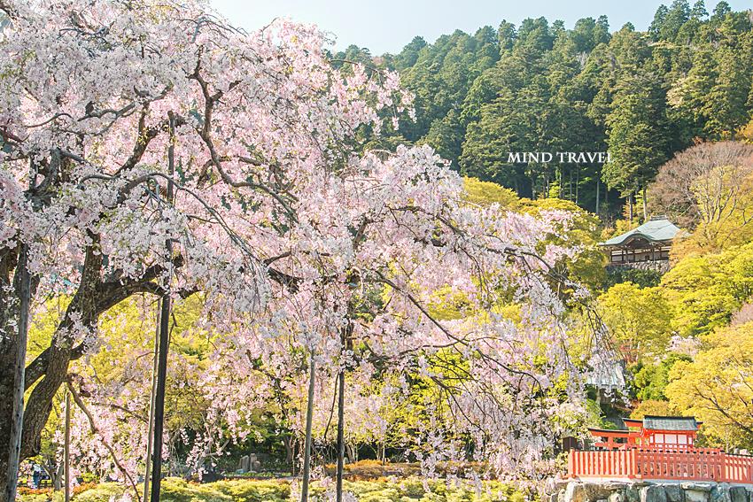 勝尾寺-二階堂 しだれ桜