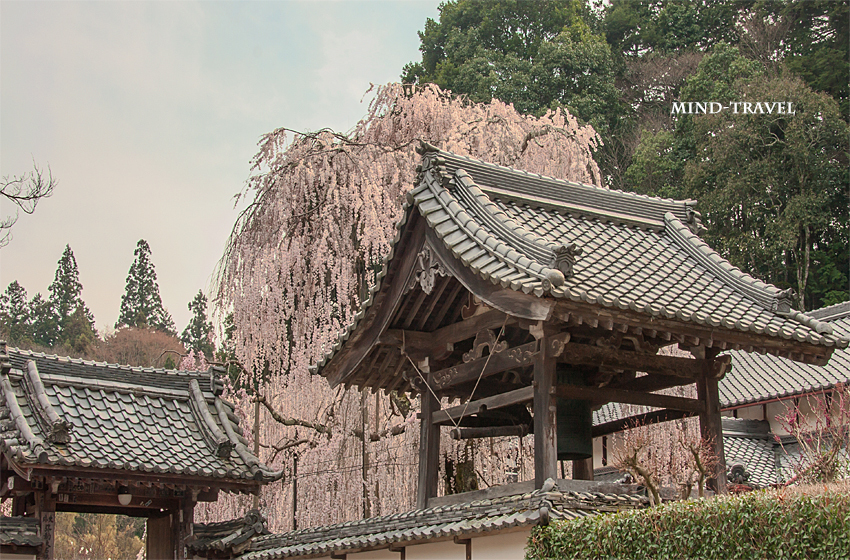 大野寺 山門 しだれ桜
