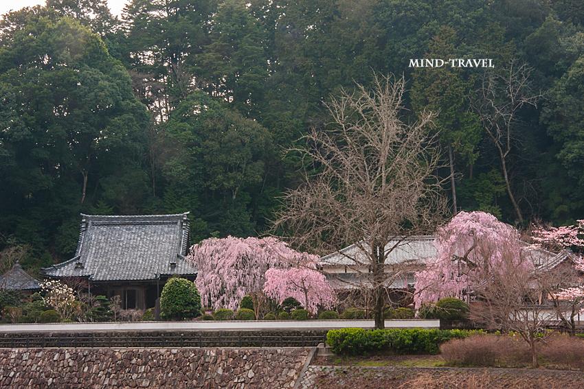 大野寺 しだれ桜