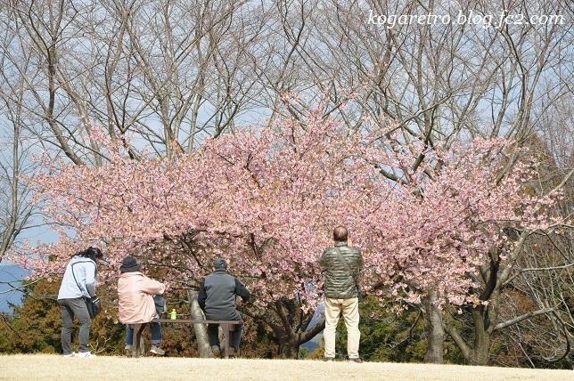 フラワーパークで河津桜8