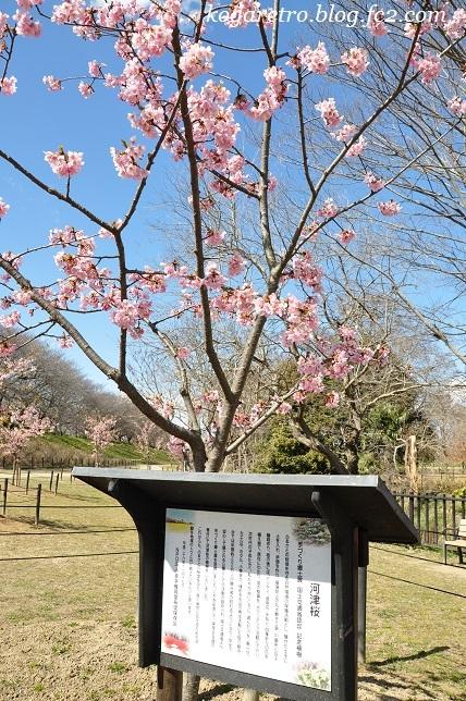 権現堂の河津桜
