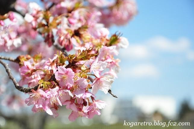 権現堂の河津桜3