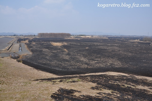 ヨシ焼き後の遊水地2