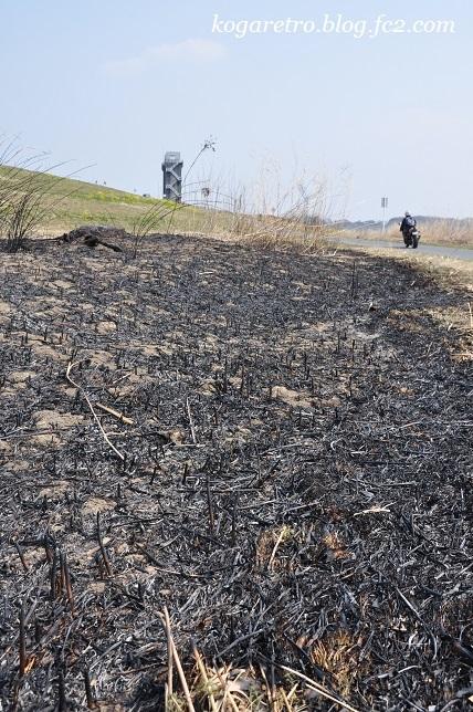 ヨシ焼き後の遊水地4