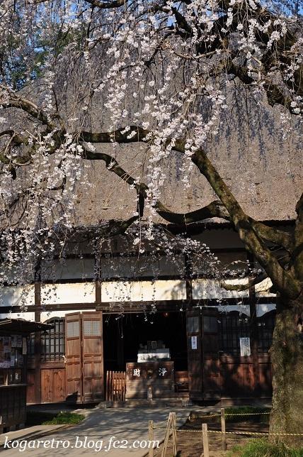 茂林寺のシダレザクラ4