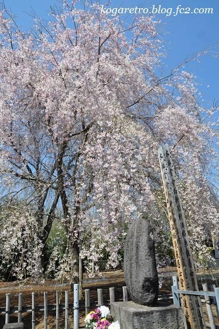 満福寺のシダレザクラ2
