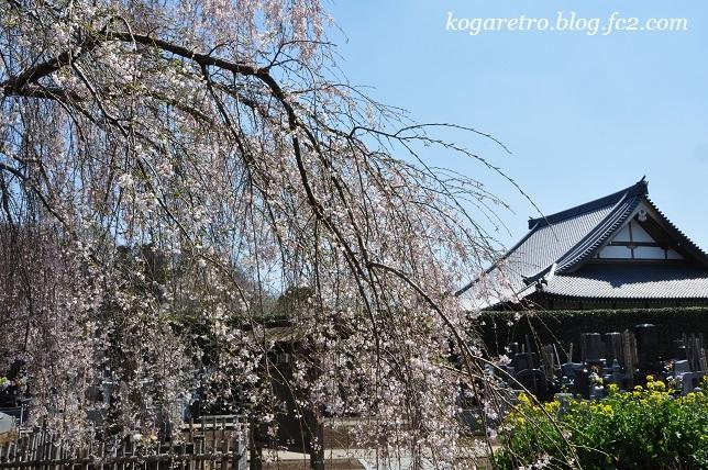 満福寺のシダレザクラ3