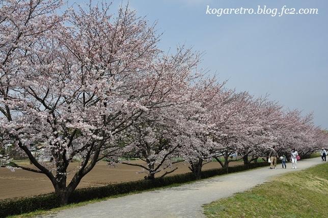 2017ネーブルパークの桜3