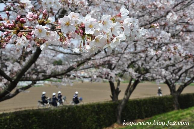 2017ネーブルパークの桜5