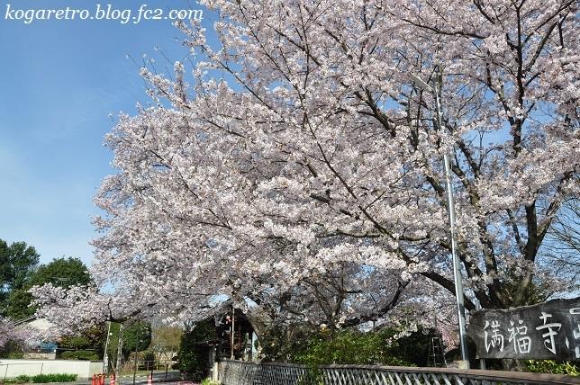 2017満福寺の桜2