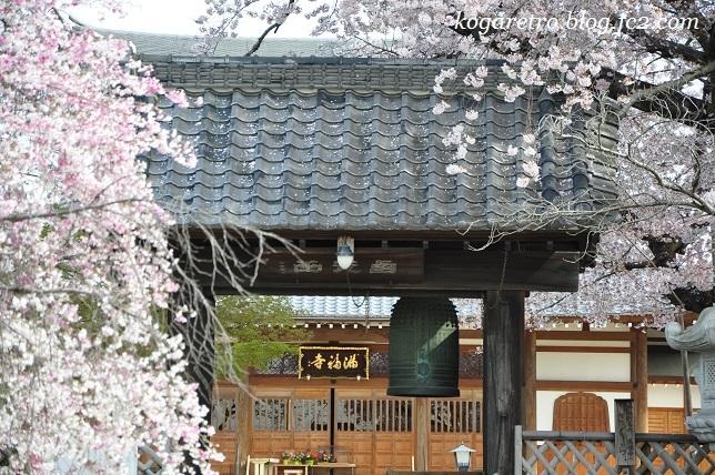 2017満福寺の桜6