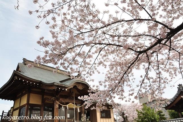 お寺と神社の桜2