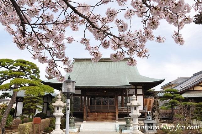 お寺と神社の桜3