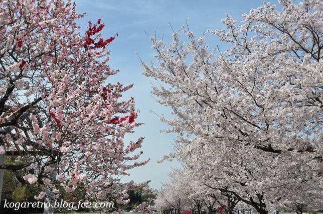 古河総合公園の桜2