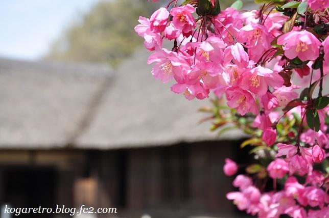 古河総合公園の桜5