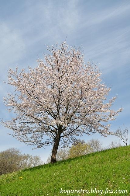 古河総合公園の桜6