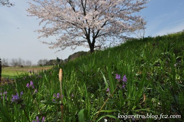 古河総合公園の桜7