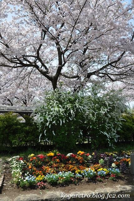古河総合公園の桜9