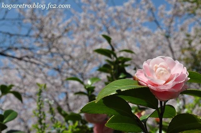 古河総合公園の桜11