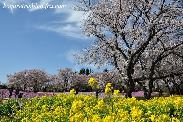 トレジャーガーデンの芝桜8