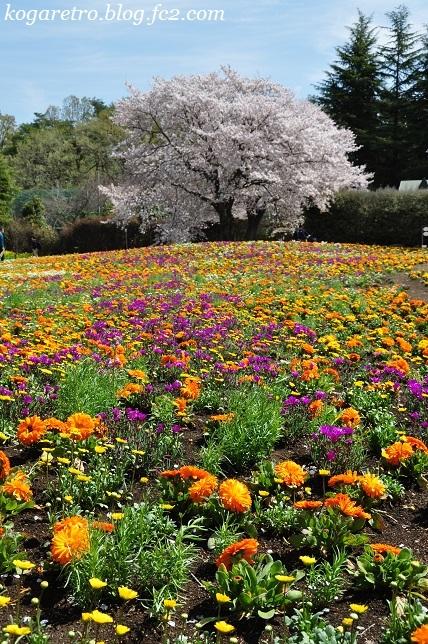 トレジャーガーデンの芝桜6