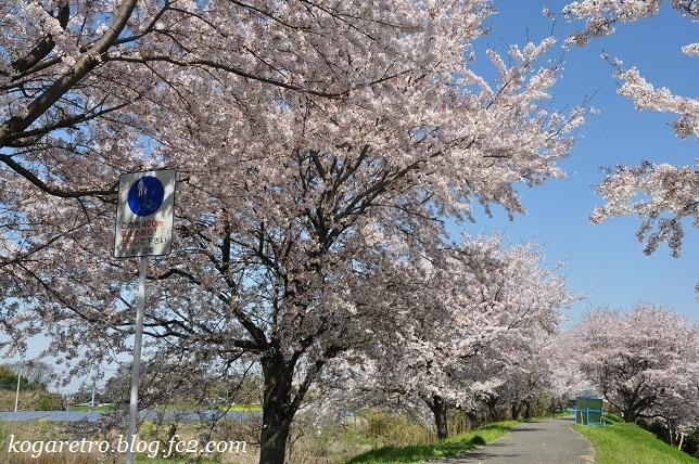 合の川跡の桜2