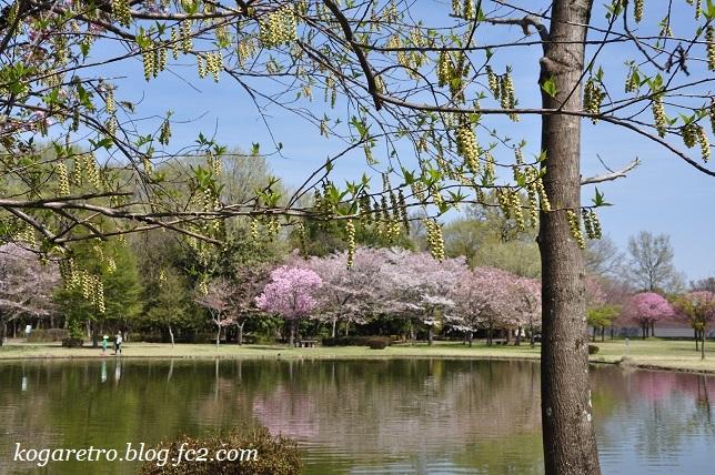 野木の公園で八重桜4