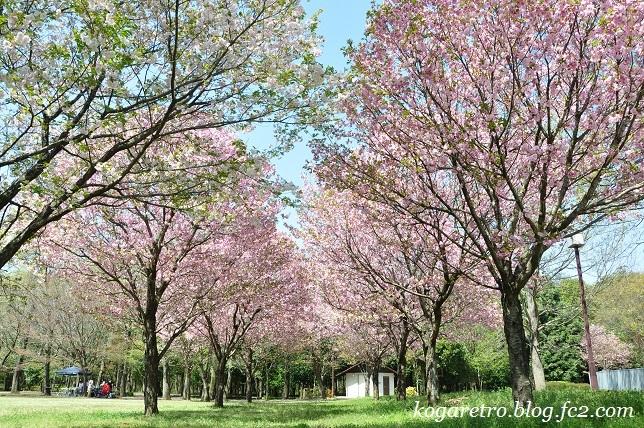 野木の公園で八重桜2