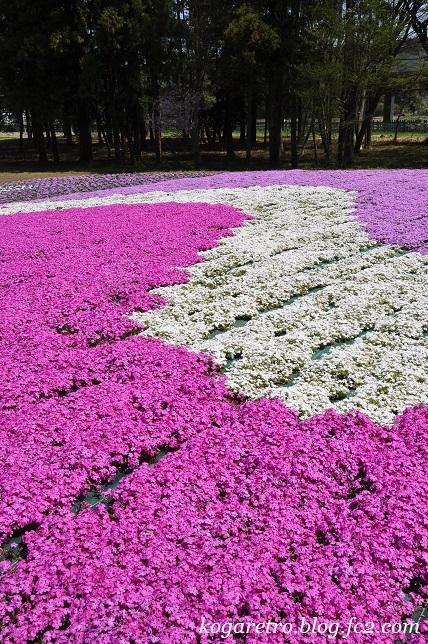 野木の公園で芝桜4