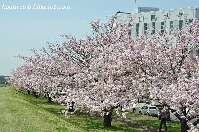 2017小山の思川桜
