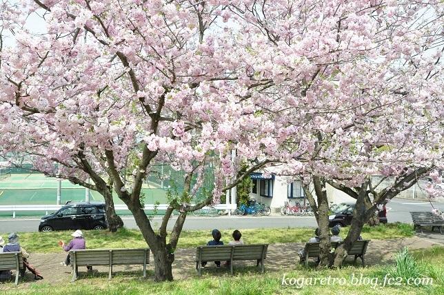 2017小山の思川桜3