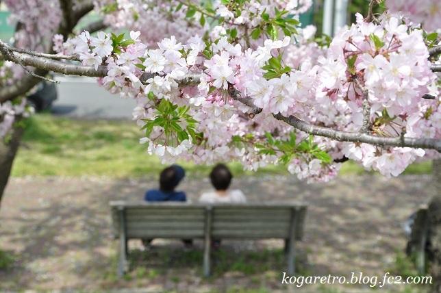 2017小山の思川桜5