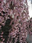 2017 4月8日桜D (2)
